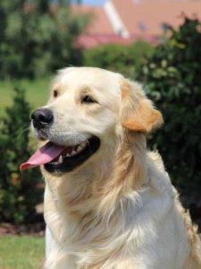 Blindengeleidehond Pablo