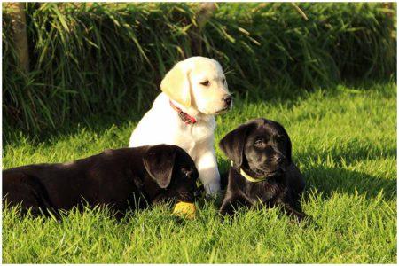 3 pups in het gras