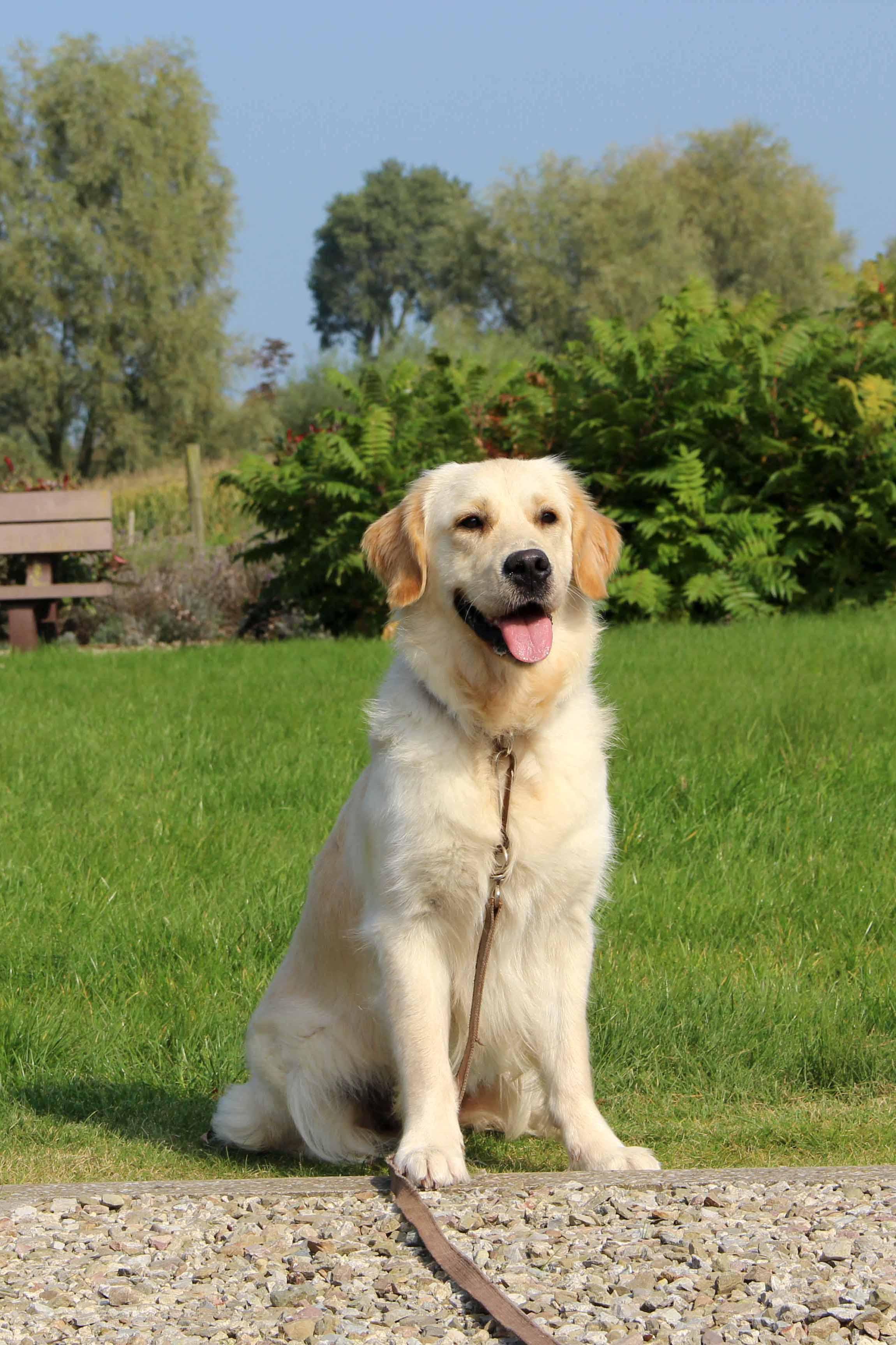 Golden retriever Pippa