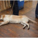golden retriever slaapt op de warmste week