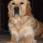 Blindengeleidehond Odette
