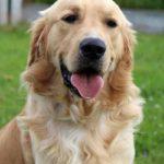 Blindengeleidehond Oberon