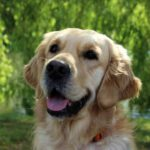 Demonstratiehond - golden retriever - Oilily