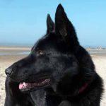 zwarte herdershond priya op het strand