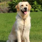 Golden retriever Pippa