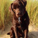 Labrador retriever Que