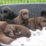 Nestje puppies liggen in mand