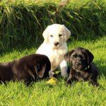 3 labrador pups in zitten het gras
