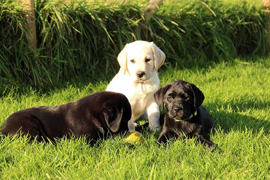 3 labrador pups zitten in het gras