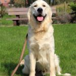 witte golden retriever