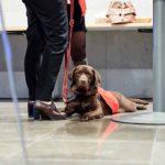 Blindengeleidehond in spé Penny wacht geduldig