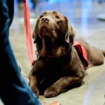Blindengeleidehond in spé Penny kijkt op naar begeleider