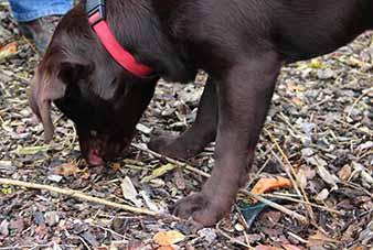 Quie, bruine labrador, sneufelt aan bodembedekker