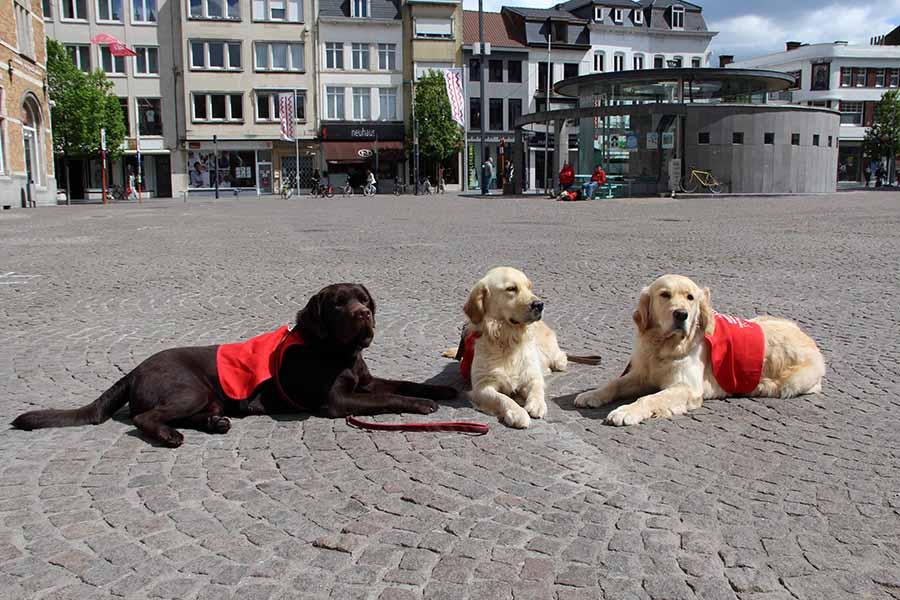 Blindengeleidehonden in opleiding Quatro, Pippa en Poppy genieten in het zonnetje op het Schouwburgplein te Kortrijk