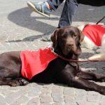 Hond in opleiding Quido (bruine labrador) ligt flink te wachten