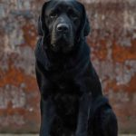 Question - zwart labrador retriever