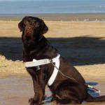 Blindengeleidehond op het strand