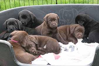 3 weken jonge pups zitten in een hondenmand