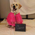 Labrador Qusco poseert voor de camera met een roze rokje