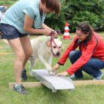 Labrador Qusco heeft wat aanmoediging nodig van baasje Charlotte en instructeur Charlotte om de wip in het hindernissenparcours vlot te nemen
