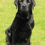 Zwarte labrador Quint