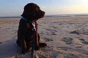 Bruine labradorpup Que zit op het strand bij een mooi avondzonnetje