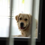Golden retriever ligt in de buitenkennel