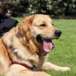 Goudkleurige golden retriever Quito