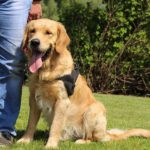 Goudkleurige golden retriever Qosmo