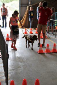 Blindnegeleidehond die het demoparkour aflegt met een deelneemster