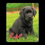 Zwarte labrador pup Raf