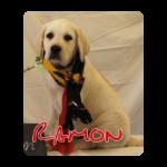 Blonde labrador pup Ramon