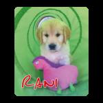 Golden retriever pup Rani
