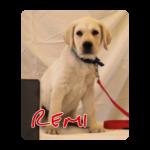 Blonde labrador pup Remi