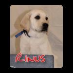 Blonde labrador pup Rinus