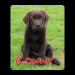 Bruine labrador pup Ronny