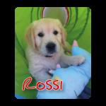 Golden retriever pup Rossi