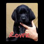 Zwarte labrador pup Rover