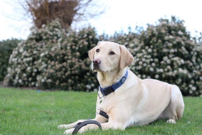 Swivi is een blonde labrador. Op de foto ligt ze neer in het gras.